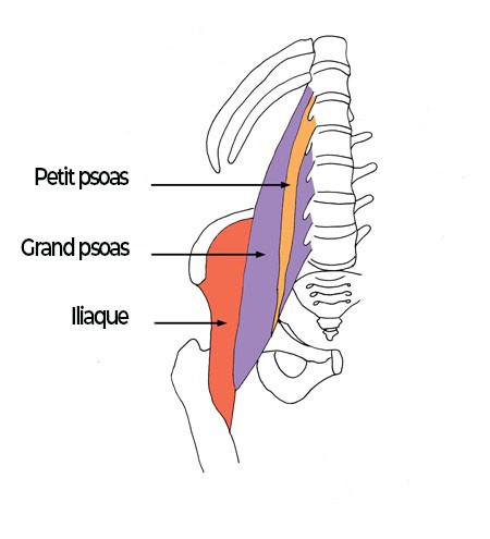 anatomie du muscle psoas iliaque