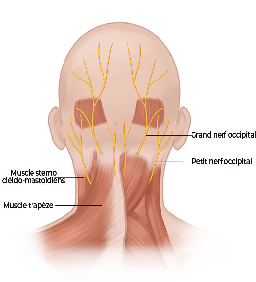 anatomie des nerfs occipitaux