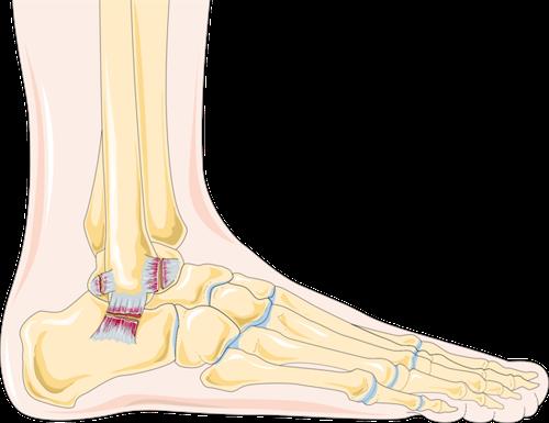 anatomie des ligaments de la cheville après une entorse