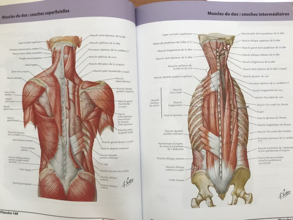 anatomie des muscles du dos profonds et superficiels