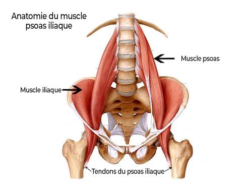 anatomie du muscle psoas